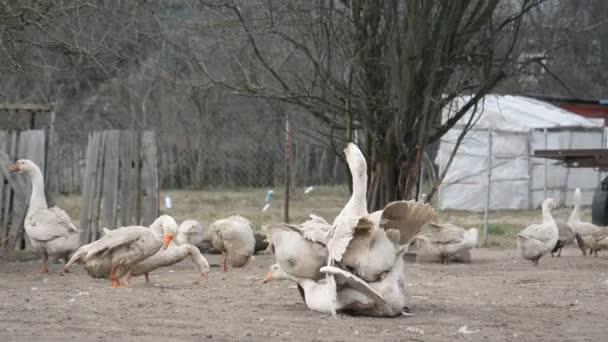 páření zvířat, domácí husy
