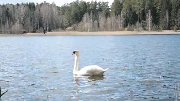 weißer Schwan auf dem See