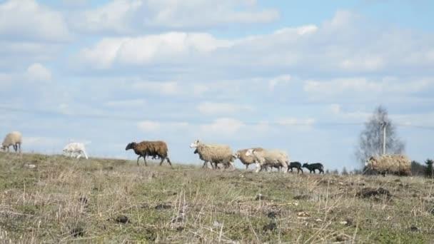 Eine Schafherde wird auf einer Frühlingswiese am Hang vor blauem Himmel gepflanzt