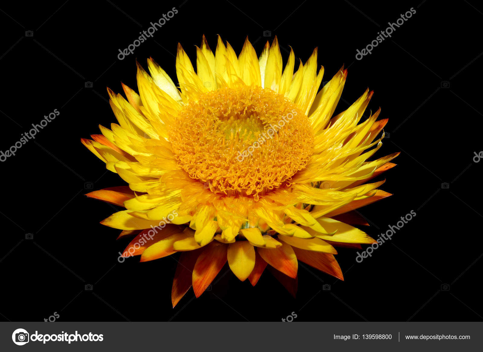 Helichysum yellow flower stock photo lenschanger 139598800 helichysum yellow is a common perennial flower sometimes called everlasting photo by lenschanger mightylinksfo