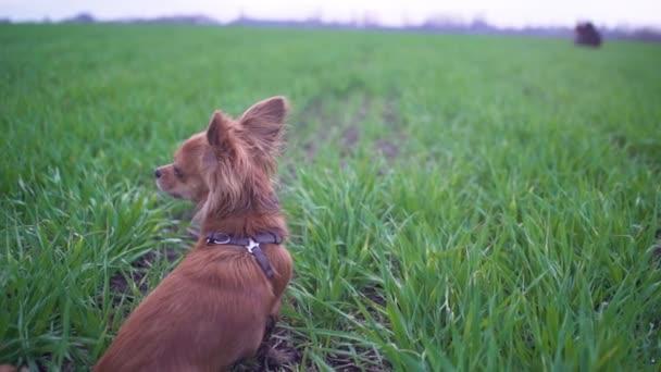 rozkošný legrační pes chihuahua běží v zeleném poli