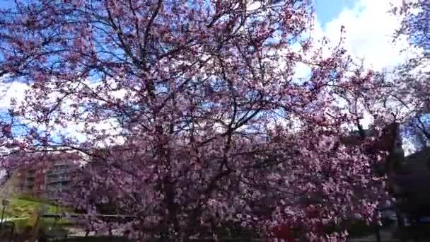Kvetoucí orientální třešeň na jaře. Natáčení v pohybu. Madrid, Španělsko.