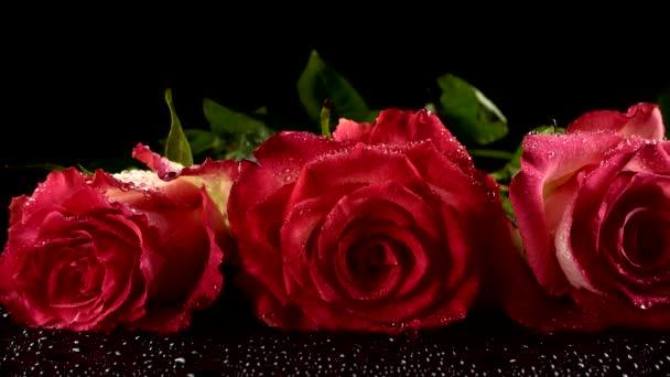 Rote Rosen auf schwarzem Hintergrund.
