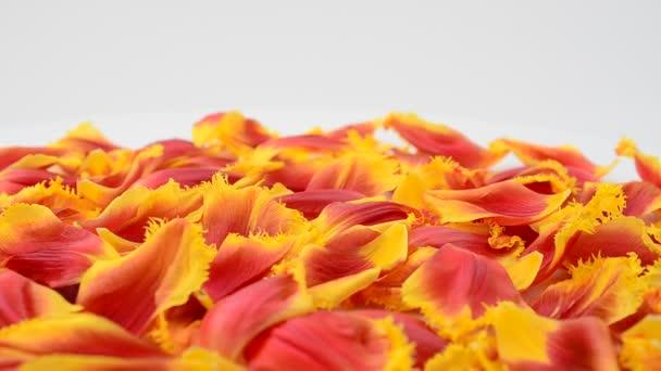 Tulipány na bílém pozadí. Pozadí z okvětních lístků tulipánů.