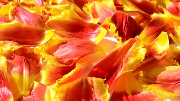 Tulpen auf weißem Hintergrund. Hintergrund aus Blütenblättern von Tulpen.