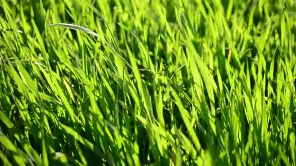 Tráva v paprscích zapadajícího slunce.