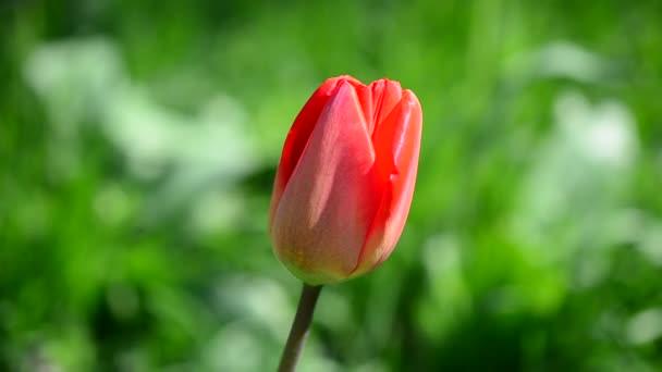 tulipány na jaře.