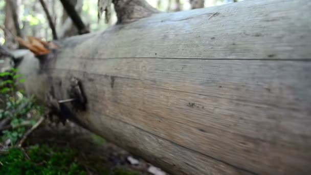 Kmen bez kůry. Kmen borovice.