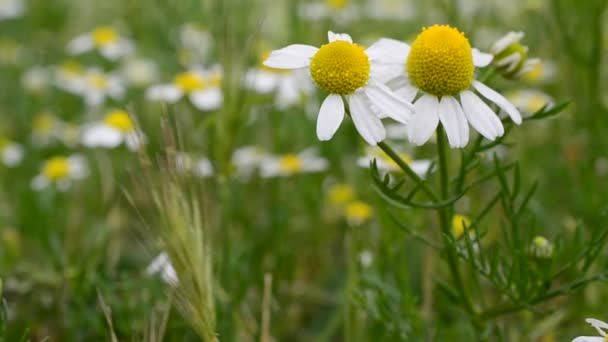 Field of camomiles flowers. Flowers outdoors, camomiles.