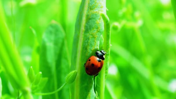 Shooting in the spring. Ladybug on a grass