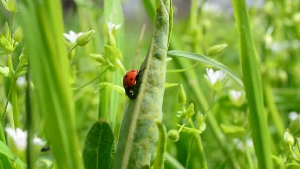 Beruška na trávě. Beruška mezi trávou a květinami