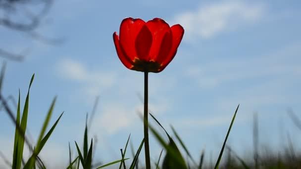 Tulipán az ég ellen. Tulipán a fű között