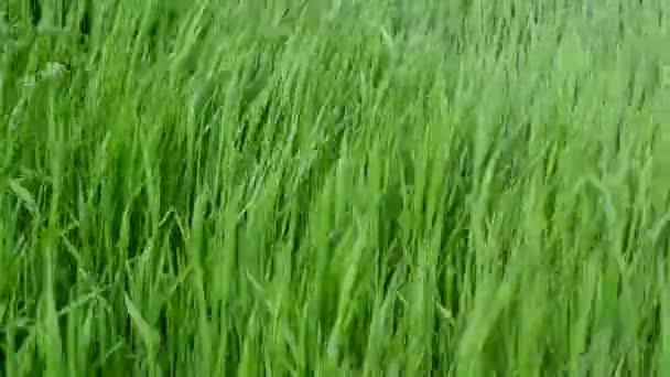 Zelená tráva. Krásné zelené pozadí