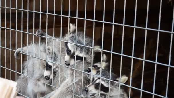 Shooting of animals. Raccoons in a zoo