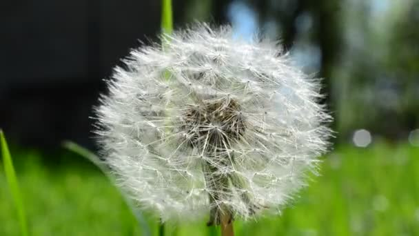 Pampelišková semínka. Pampeliška na jaře