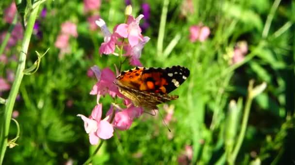 Motýl a květiny. Zpomalený pohyb.