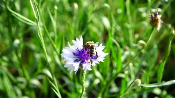 Bee and flower. Slow motion.