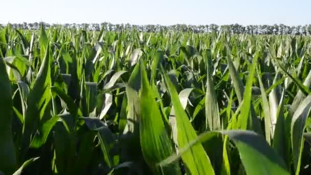 Kukuřičné pole proti stromům a obloze. Pohyb listů mladé kukuřice