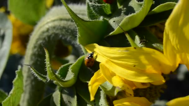 Ladybug, macro. Sunflowers on an agricultural field