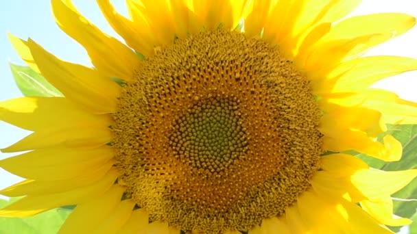 Jasné pozadí, slunečnice. Žluté pozadí, slunečnice