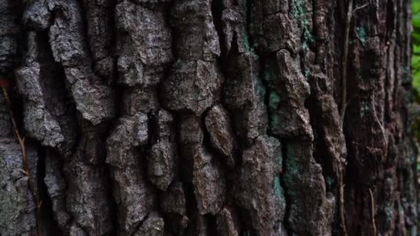 Stamm eines riesigen Baumes. Baumrindenschießen im Wald.