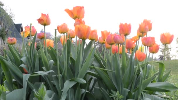Tulipánok. Tavasszal forgatás..