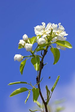 fragrant branch of pear flowers with a spider against the sky, vertical form