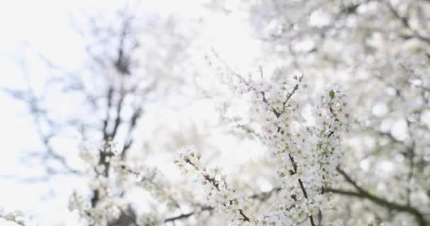 Close-up tree branch with an abundance of white flowers on the tree
