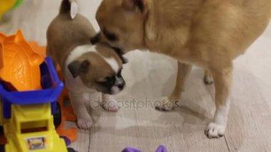 Anya illata neki kiskutya chihuhua