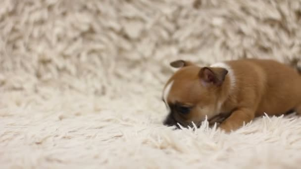 Puppy of chihuhua on sofa with white cover