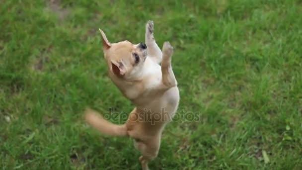 Ugrás a két lábon Chihuahua