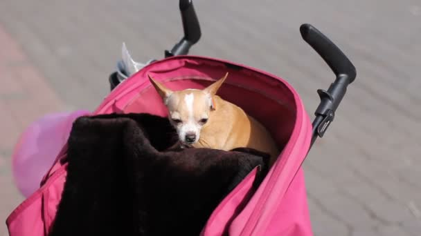 Chihuahua kutya a baba babakocsi