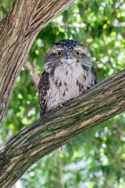 Tawny Frogmouth on a Branch