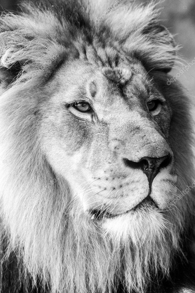 Lion Face Closeup Side View — Stock Photo © mojoeks #125019454