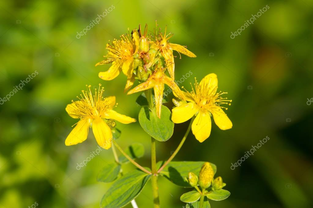 Perforate St John's-wort. Hypericum perforatum macro flowering plant in green background