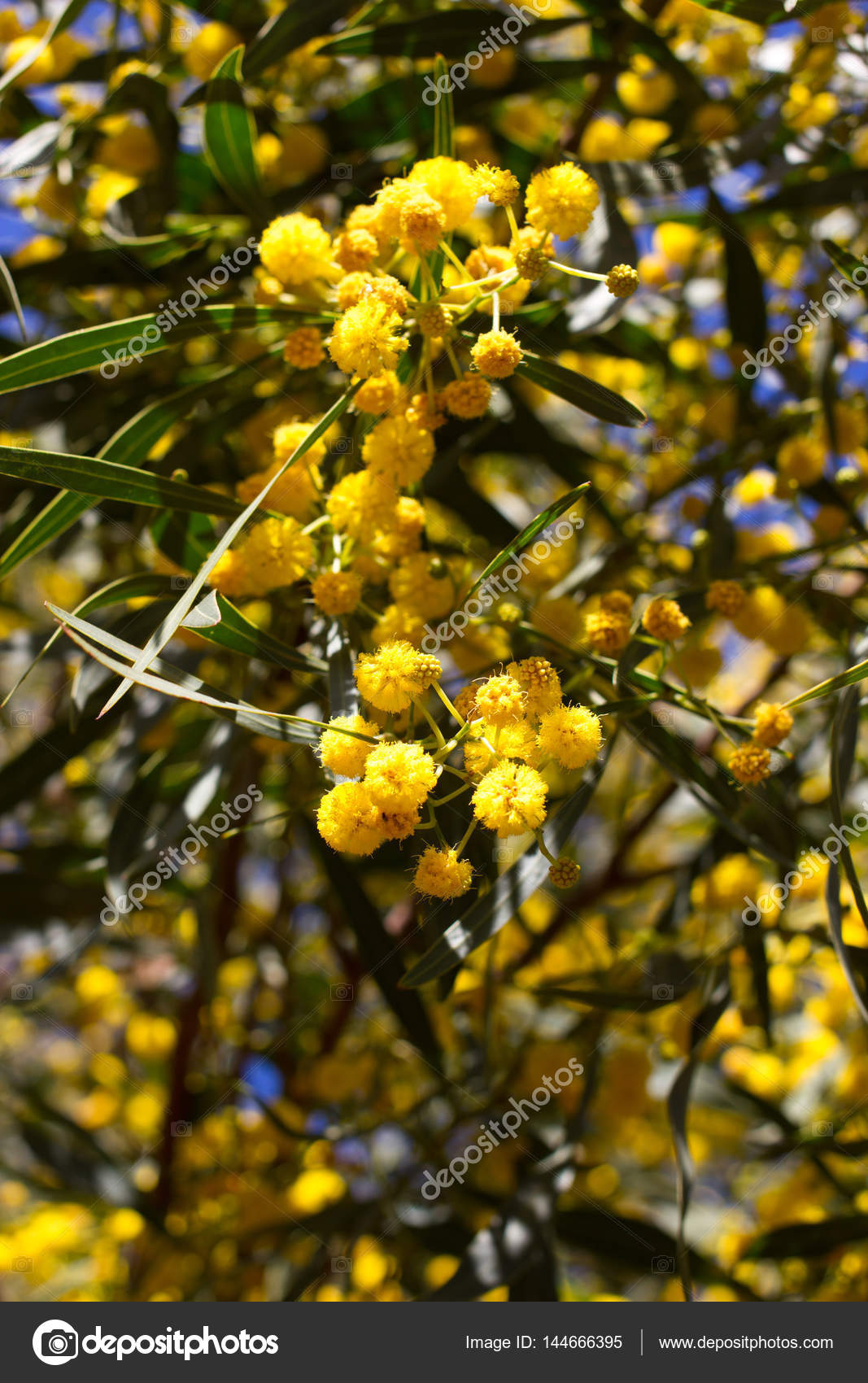 Yellow ball of mimosa flowers woman s day 8 march stock photo yellow ball of mimosa flowers woman s day 8 march stock photo mightylinksfo