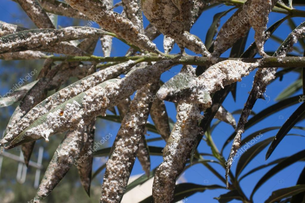 Oleander leaves densely covered with scale insects. Mealy mealybug.