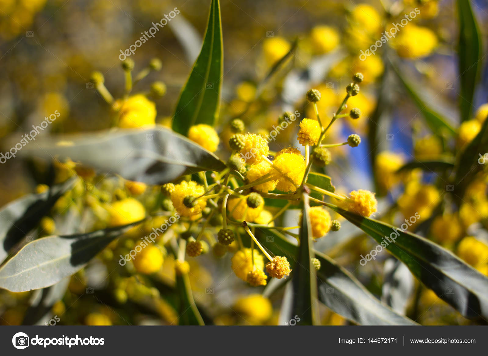 Yellow Ball Of Mimosa Flowers Woman S Day 8 March Stock Photo