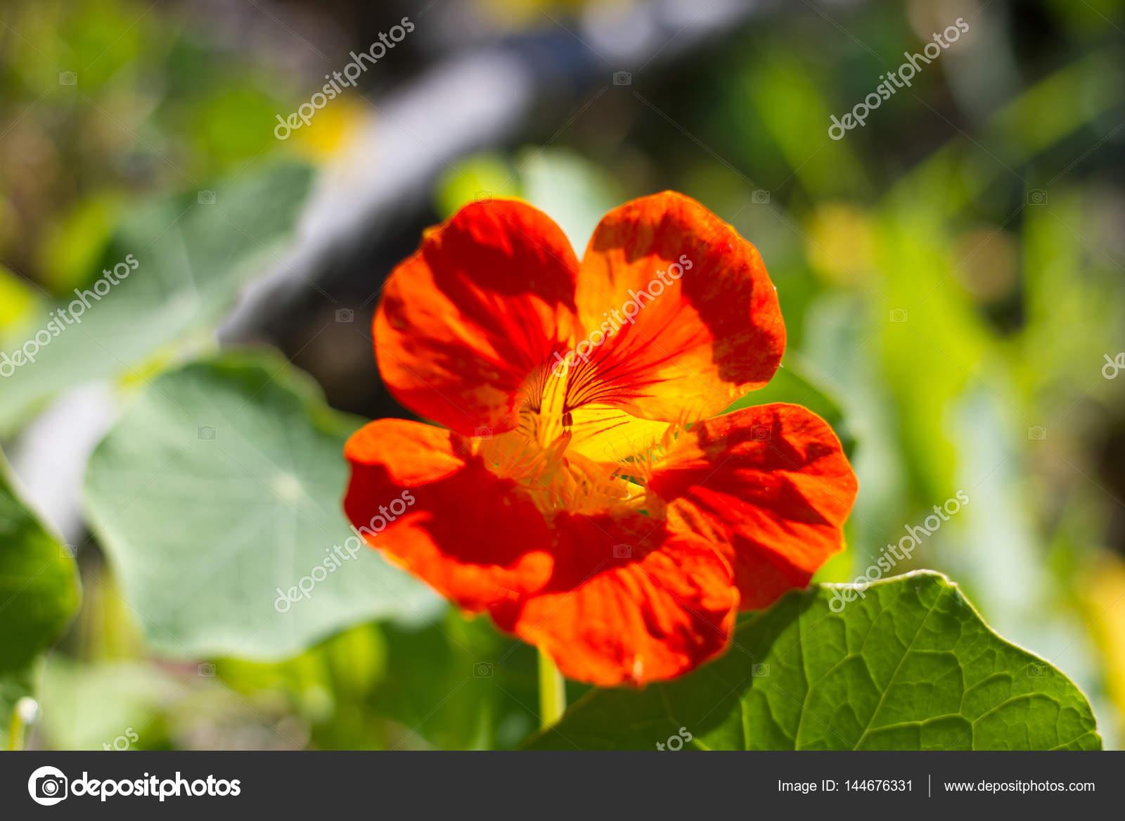 Schone Blume Kapuzinerkresse Blatter Im Garten Auf Der Insel