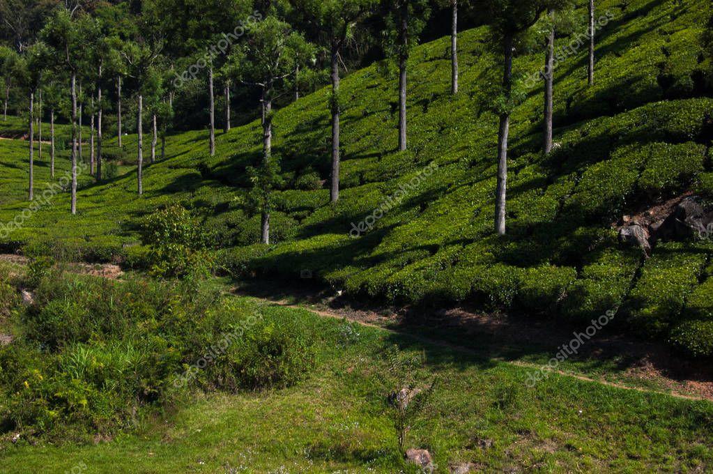 Coonoor, green field, tea plantation. Nilgiri mountain railway. India