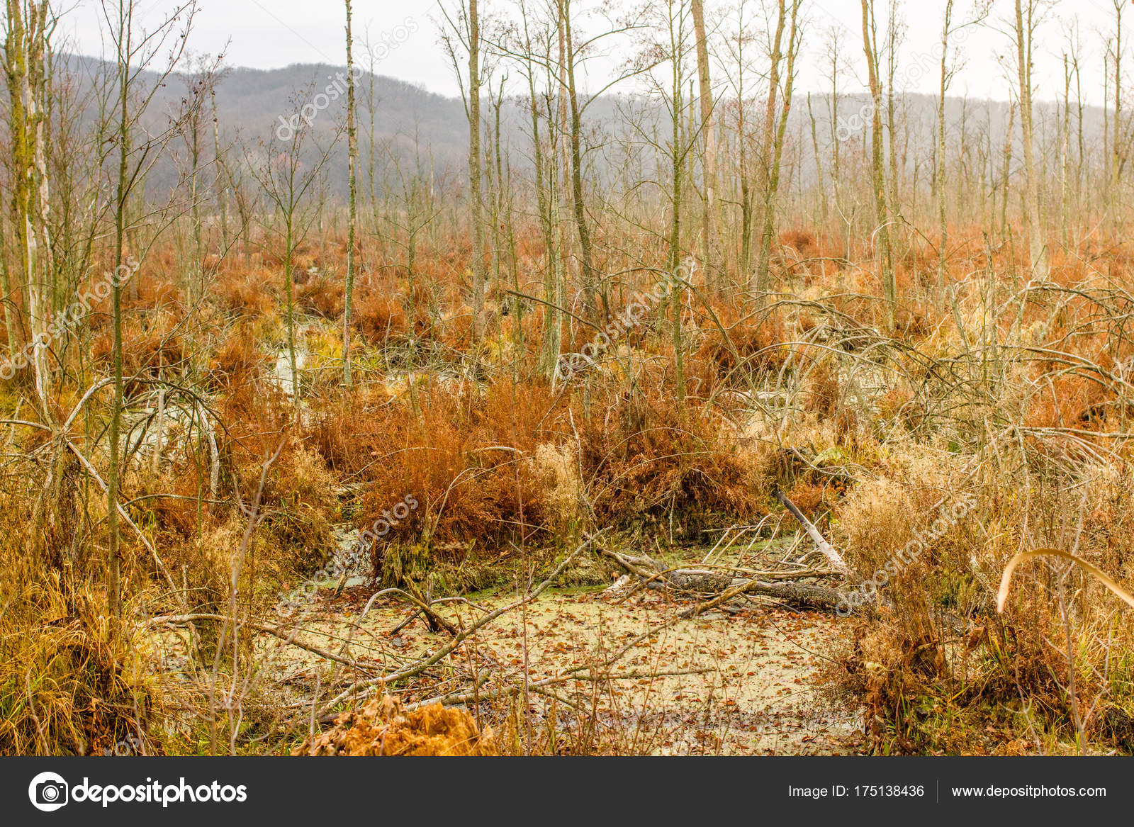 Autumn peat bog landcape. Swamp and marsh wild area. Beautiful ...