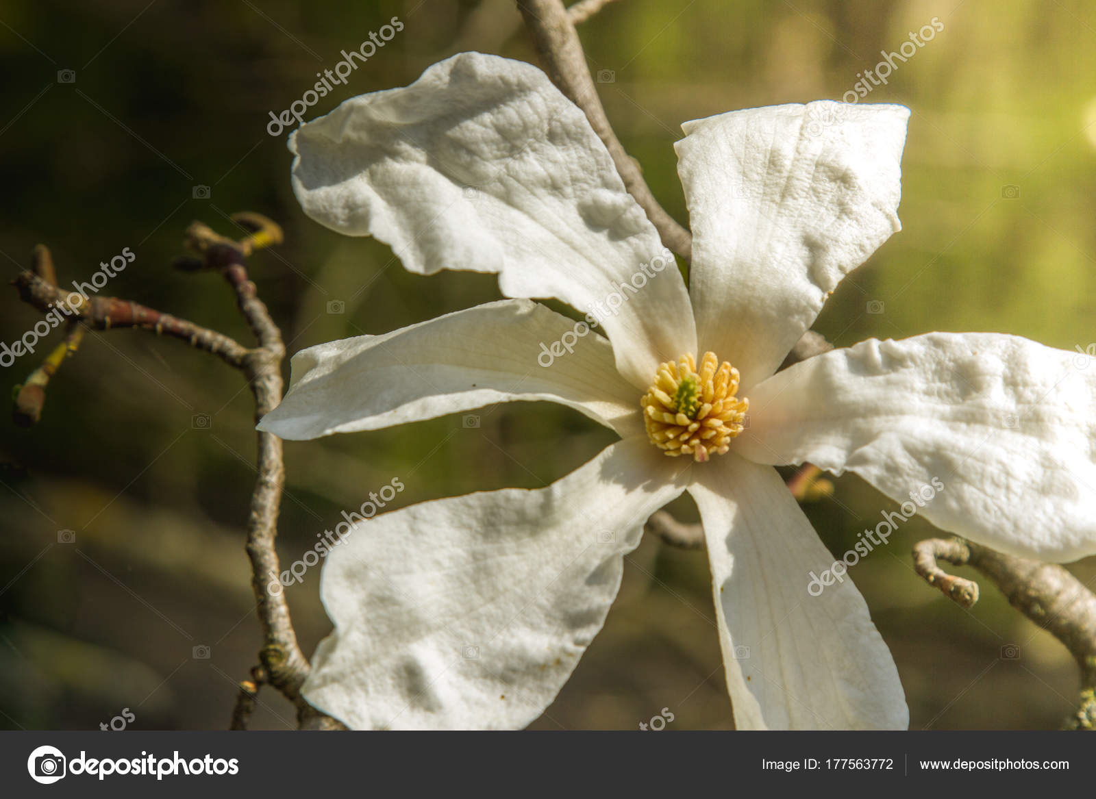 Flower White Magnolia Flowering Background Of Flowers Spring