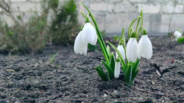 Beautiful snowdrop flower grows in the soil. Spring first flowers