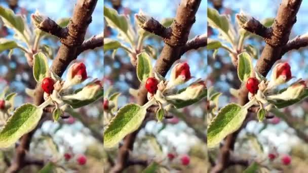 Červená beruška coccinellidae na jabloni větev na modrém pozadí
