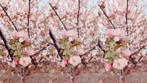 Kvetoucí jabloně na slunci s měkkým ostřením. Jarní květinové pozadí. Zahradničení, selektivní zaměření