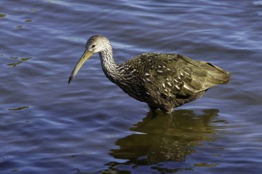 Limpkin Shorebird Standing in Water with Reflection