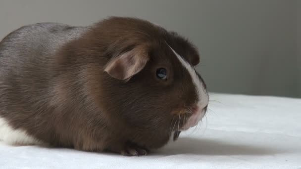 Pet Guinea pig on a neutral background
