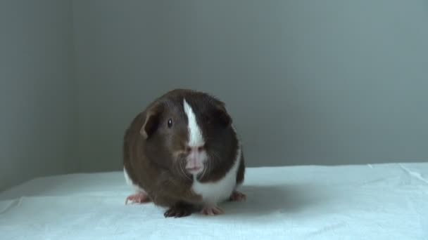 Pet Guinea pig looking forward