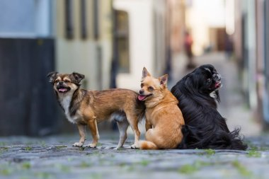 three small dogs sitting on a cobblestone road