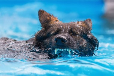 Old German Shepherd swims in a swimming pool